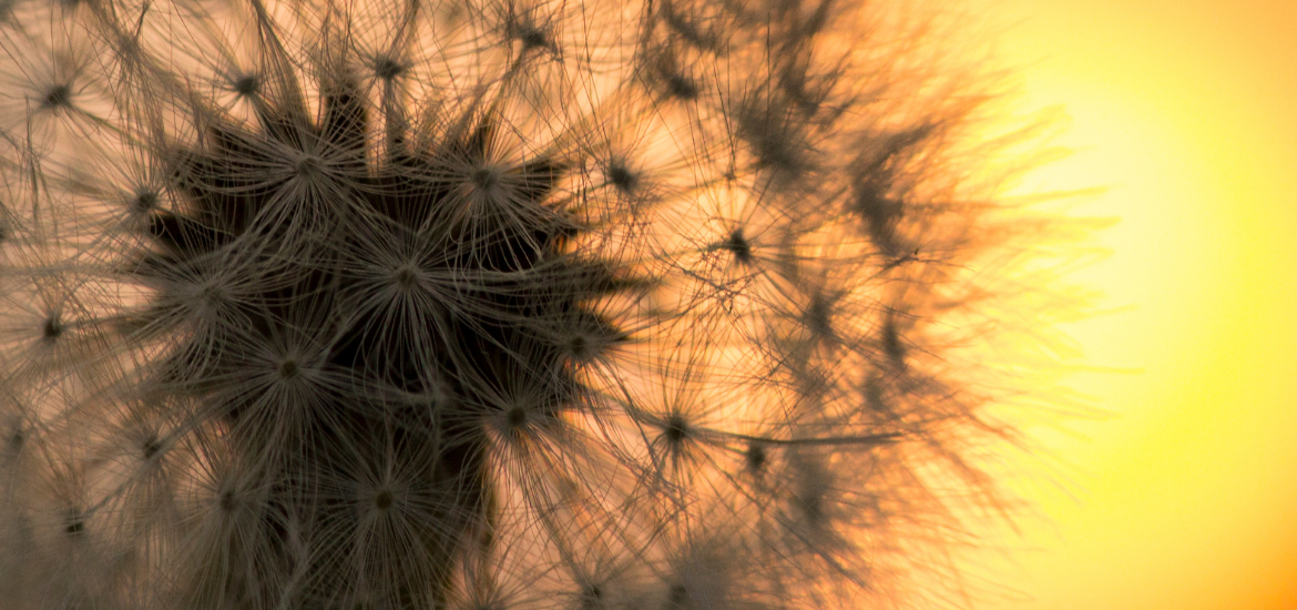 white dandelion seeds with sunrise in the background